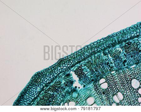 Cotton Stem Micrograph