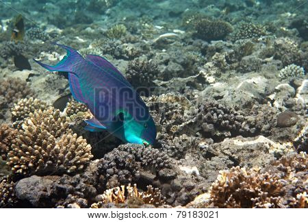 Heavybeak parrotfish.
