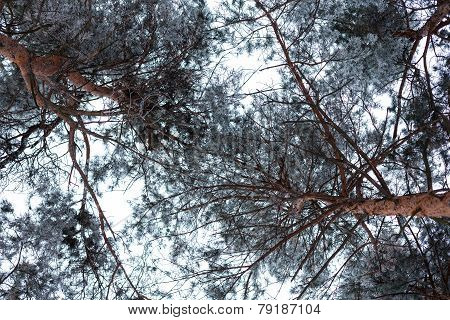 Pine Treetops Covered With Hoarfrost