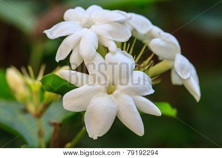 White Jasmine flowers in garden