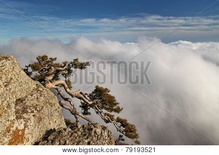 Pine In The Mountain Against Misty Sky