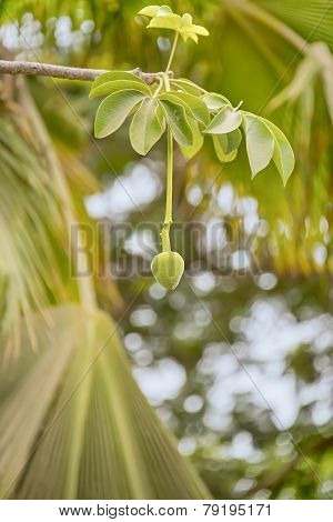 Green Baobab Fruit (Adansonia digitata), rainy season