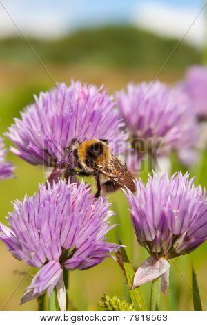 Hummel auf eine purpurrote Blume