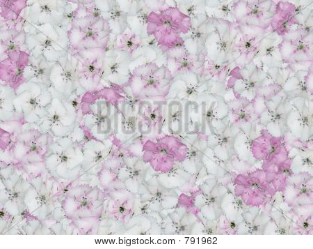 Picture or Photo of Carnation - Dianthus barbatus - Bartnelke