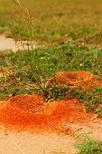 picture of fire ant  - Nest on green grass at the park - JPG