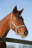 foto of thoroughbred  - Headshot of a thoroughbred horse in winter pinfold - JPG