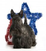 image of scottish terrier  - scottish terrier standing with a star behind his back on white background - JPG