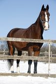 picture of thoroughbred  - Thoroughbred saddle horse looking overthe corral fence - JPG
