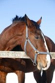 stock photo of thoroughbred  - Headshot of a beautiful thoroughbred horse in winter pinfold - JPG