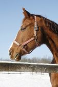 image of thoroughbred  - Headshot of a beautiful thoroughbred horse in winter pinfold under blue sky - JPG