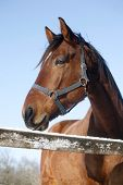 picture of thoroughbred  - Headshot of a beautiful thoroughbred horse in winter pinfold under blue sky - JPG