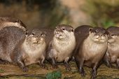 picture of claw  - A family of Oriental Short Clawed Otters - JPG