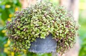 foto of climber plant  - Callisia Repens Turtle Vine or Inch Plant potted plant - JPG