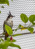 pic of bulbul  - Red Whiskered Bulbul spotted in Kuala Lumpur Malaysia - JPG