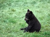 image of bear cub  - a small black bear cub sitting on the grass - JPG