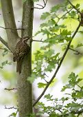 pic of creeper  - Tree Creeper spotted in Bushy Park Dublin