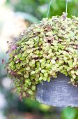image of climber plant  - Callisia Repens Turtle Vine or Inch Plant potted plant - JPG