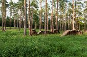 pic of conifers  - Firewood from conifers on piles in forest - JPG