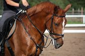 foto of chestnut horse  - Chestnut sport horse portrait in summer during riding - JPG