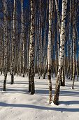 picture of birchwood  - Snow winter in a birchwood in sunny fay - JPG