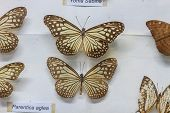 foto of specimens  - Butterfly Collection - JPG