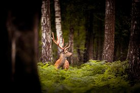 foto of bucks  - Whitetail Deer Buck standing in a woods - JPG