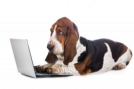 stock photo of working-dogs  - basset hound dog working on a computer - JPG