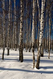 pic of birchwood  - Snow winter in a birchwood in sunny fay - JPG