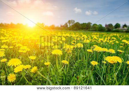 Fantastic field with fresh yellow dandelions flowers on the blue sky. Unusual scenery. Ukraine, Europe. Beauty world.