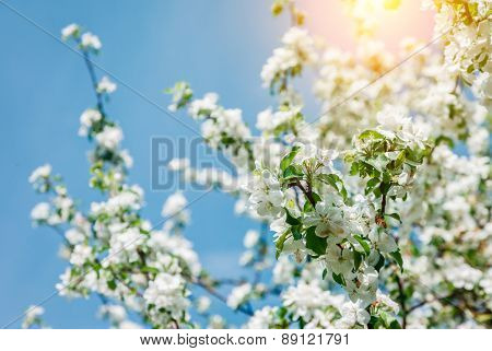Blossoming apple orchard glowing by sunlight on a blue sky. Unusual scenery. Ukraine, Europe. Beauty world. Soft filter effect.