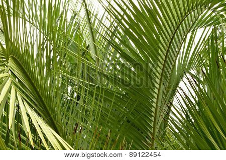 Palm Tree Fronds Closeup