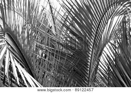 Black And White Palm Tree Fronds Closeup