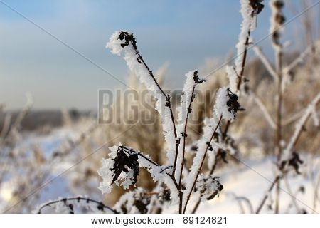 The grass in the frost