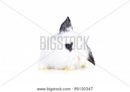 Small White Rabbit