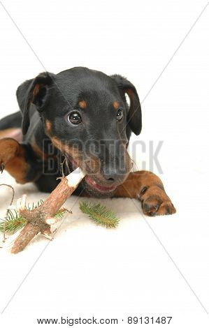 Doggy Playing With Stick