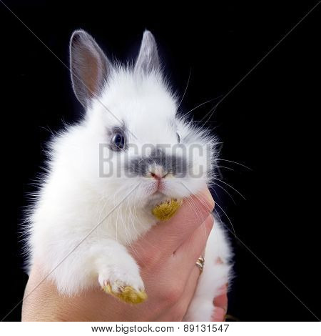 Hands Holding Small Rabbit