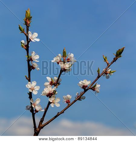 Branch Of A Blossoming Apple