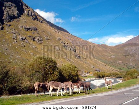 Donkeys At Vanoise Park France