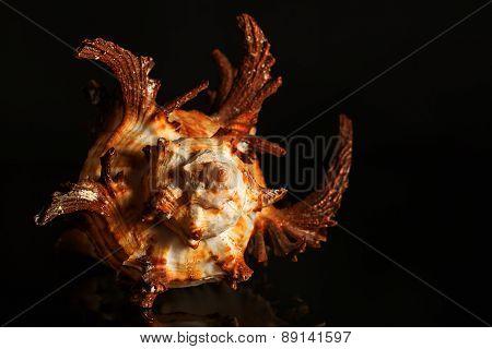 Sea spiral snail