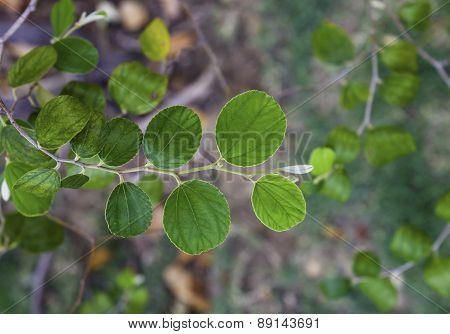 Jujube Leaf
