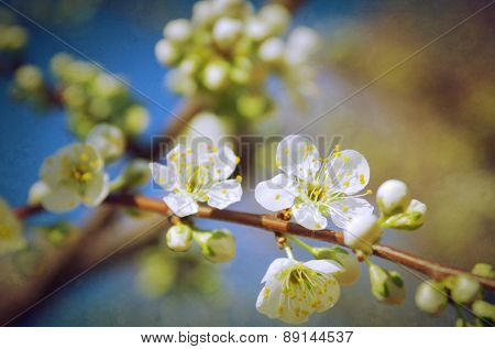 Almond tree branch with white flowers against blue sky