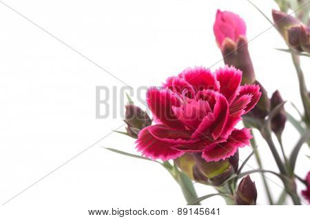 Beautiful burgundy Sweet William, on white background
