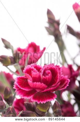 Burgundy Dianthus flower on white