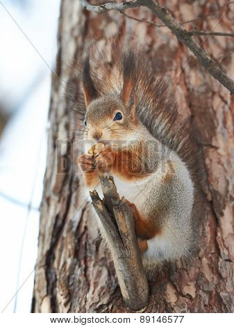 Squirrel On Tree With Walnut