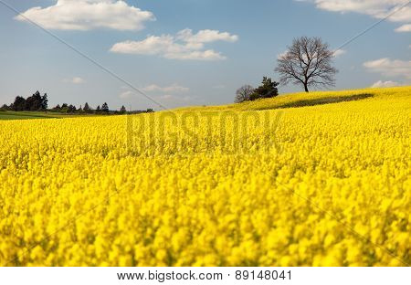 View Of Flowering Field Of Rapeseed