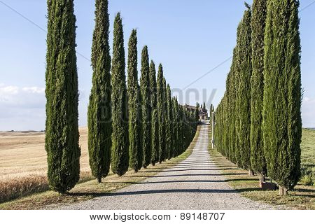 Cypress Trees In Tuscany Countryside