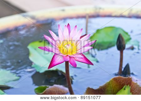Purple Lotus And Green Leaf In The Basin