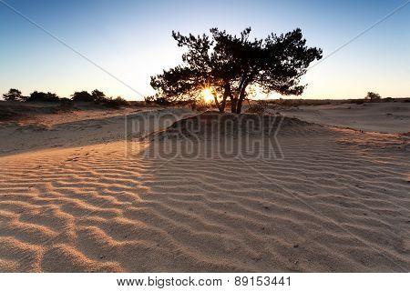 Sunshine Through Pine Tree And Sand Dune