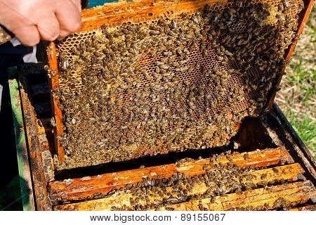 Bees Works On Honeycomb.