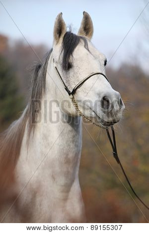 Amazing Arabian Horse With Show Halter